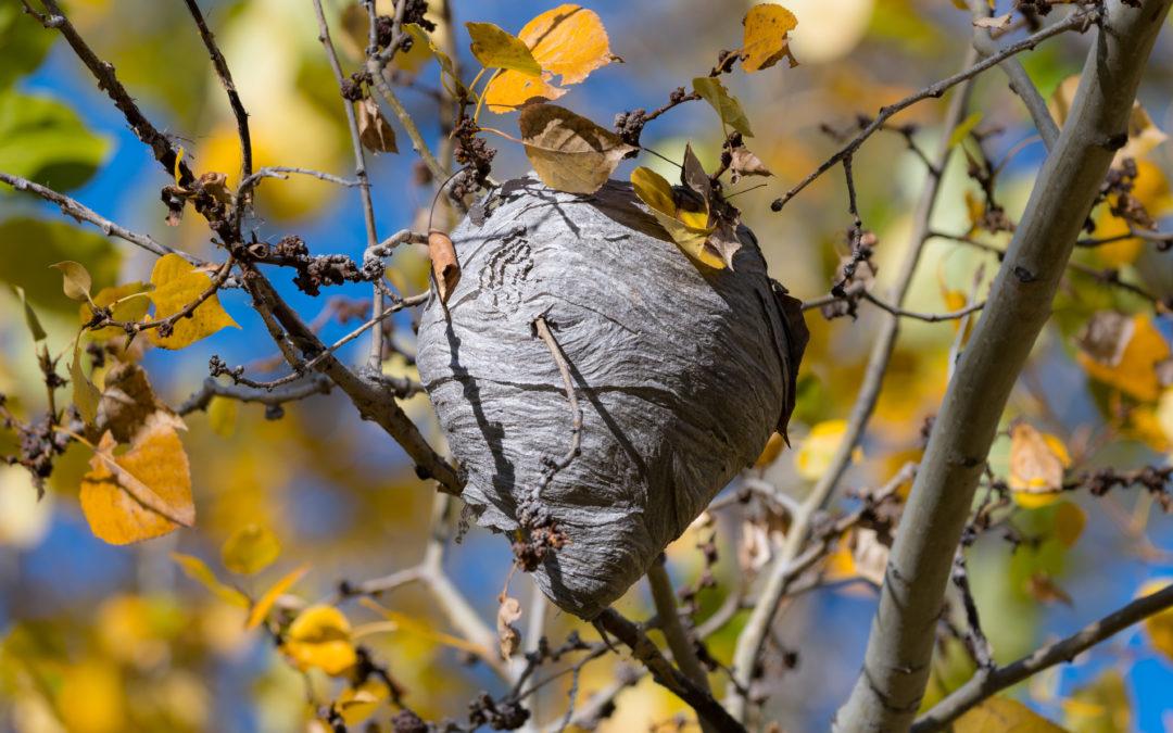 Comment détruire un nid de frelons?