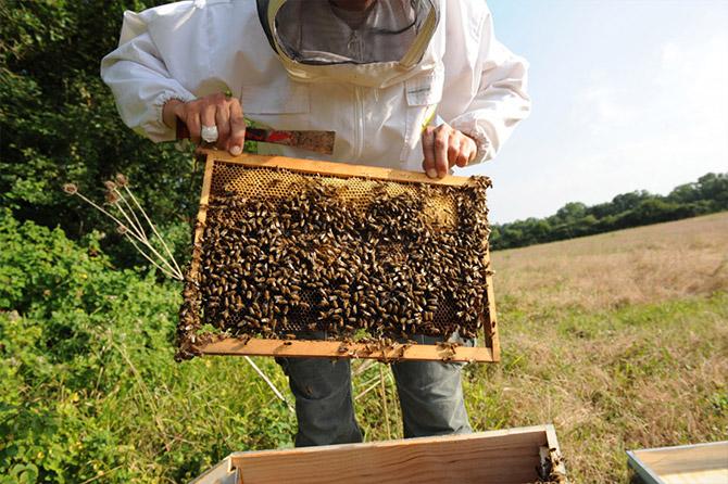 Le frelon asiatique destructeur des abeilles