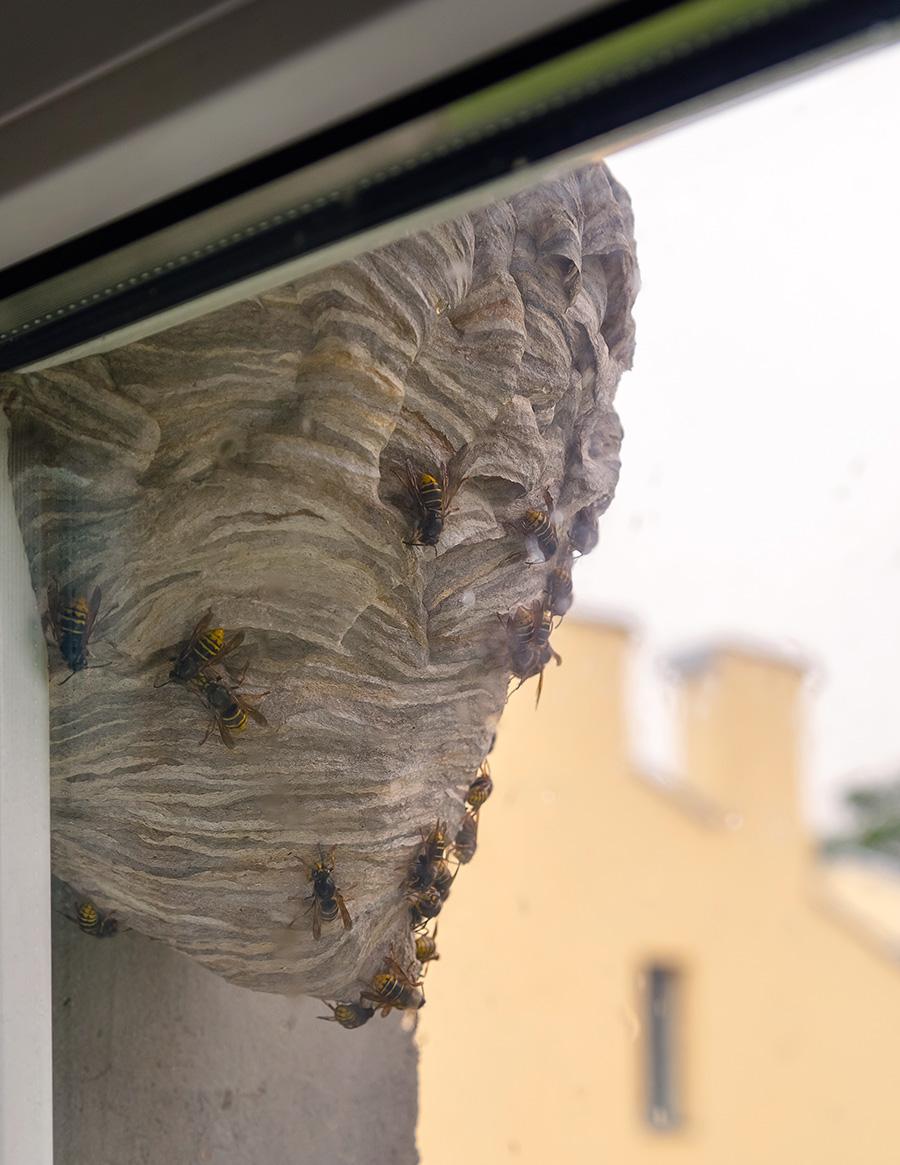 Entreprise certifiée en destruction de nid de frelons